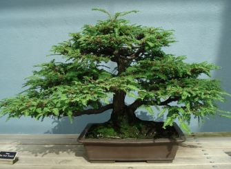 Wifey's Family Tree. Because it's a bonsai and it's small and Japanese. Get it? Huh? Snorf, snorf.