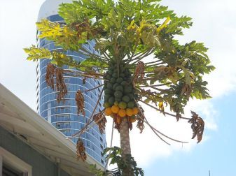 You can always find bunches of tasty papayas in the K Streets.