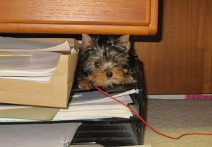 A favorite hiding spot - under her owner's desk.