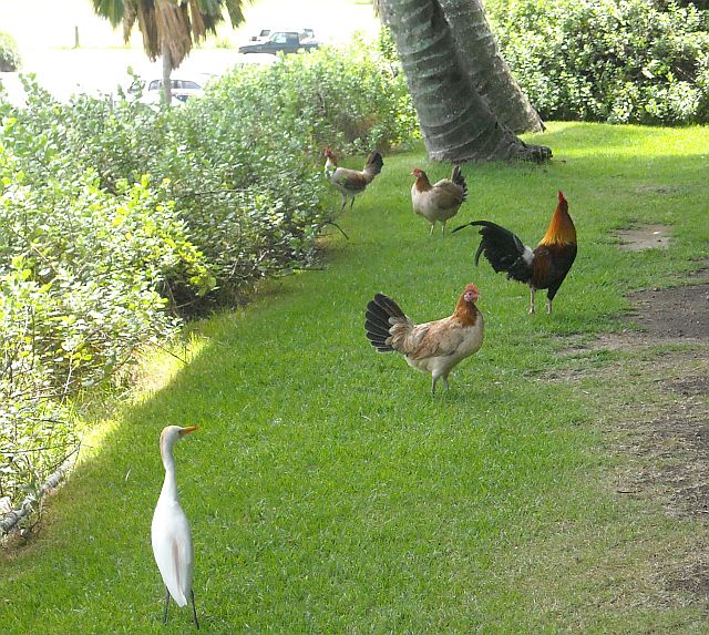 More terror for the Maltese. The feral chickens and the egrets could kick his fluffy little tail.