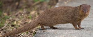 The mongoose was brought in to control rats. Big mistake. The rat is nocturnal; the mongoose is diurnal.
