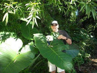 The giant 'Ape plant is related to and resembles, a taro plant on steroids.