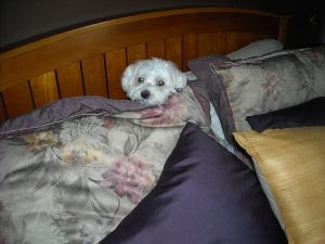 Here he is...the Maltese bed cave diver coming up for air after a major hissy fit and bed digging episode. All because we needed to go to the grocery store without him.