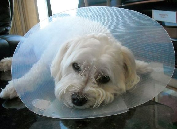 The noble Malt wearing the ignoble Cone of Shame.