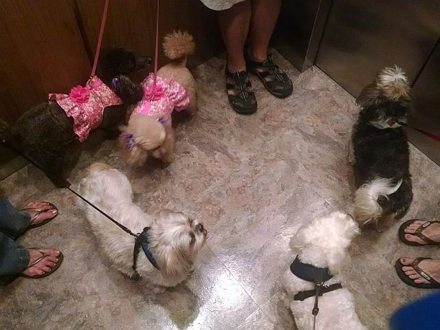 It's fun when the elevator doors open to a floor and the folks waiting are presented with a car full of dogs.