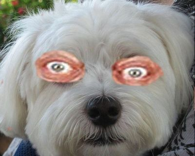 Max's eyes have taken a disturbing appearance ever since he scratched them. (Full disclosure: this is a shopped photo with Rodney Dangerfield's eyes. No Malt was harmed.)