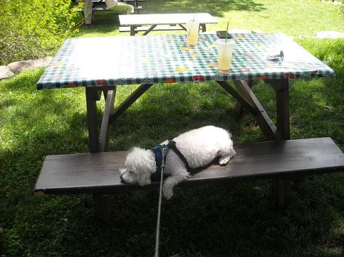 Durango Max on Picnic Table