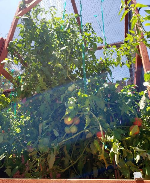 The giant tomato